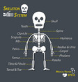 human skeleton and all name of bone vector image
