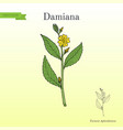 damiana turnera diffusa medicinal plant vector image vector image