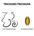 trichuris trichiura structure of an adult egg vector image vector image