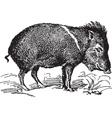 Wild Pig vector image vector image