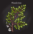 miracle tree moringa oleifera medicinal plant vector image vector image