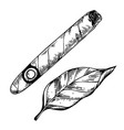 cigar and tobacco leaf engraving vector image