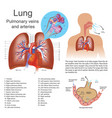 lung pulmonary veins and arteries vector image