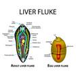 liver fluke structure hepatic egg trematodes vector image vector image