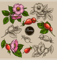 set of rosehip s flowers hand drawn vector image