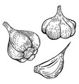 set of garlic design element for poster banner vector image