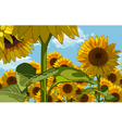 Field of flowers of sunflowers vector image