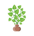 potted plant for home with leaves green foliage vector image vector image