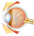 Human eye cross section vector image