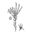 lappula squorosa botanical vector image vector image