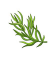 tarragon spice realistic colored botanical vector image vector image