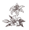 hand drawn isolated white flowers lily vector image