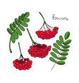 set red rowan tree isolated elements of vector image vector image