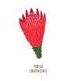 protea tropical flower vector image vector image