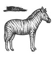 zebra sketch zoo and african jungle wild animal vector image vector image