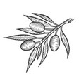 olive branch sketch engraving vector image