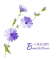Blue chicory flowers vector image vector image
