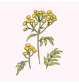Tansy flower vector image