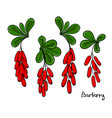 a set of isolated barberry twigs or branch vector image vector image