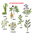 collection best herbs for quitting smoking vector image vector image