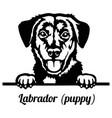 labrador puppy peeking dog - head isolated vector image vector image