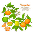 tangerine fruit set vector image