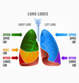 human lungs infographic vector image vector image