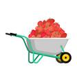 wheelbarrow and tomato vegetables in garden vector image vector image