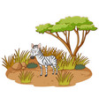 zebra in savannah forest on white background vector image vector image
