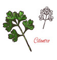 coriander or cilantro plant sketch of spice herb vector image