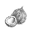 hand drawn coconut with half vector image vector image