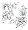 two hip rose buds berry and branches vintage vector image