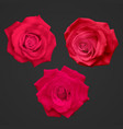 Realistic red roses isolated on a dark background vector image