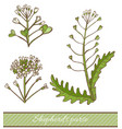 colored shepherds purse in hand drawn style vector image vector image