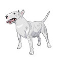 bull terrier dog breed isolated on white vector image vector image