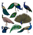 detailed flat set of beautiful peacocks vector image