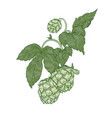 detailed natural realistic drawing of hop sprig vector image vector image