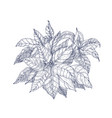 poinsettia plant with leaves and bracts hand drawn vector image