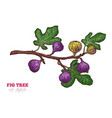 fig tree branch hand drawn vector image