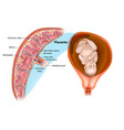 placental structure vector image vector image