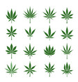 green cannabis leaves vector image