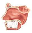 Nasal Cavity vector image
