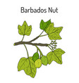 barbados nut jatropha curcas tropical poisonous vector image vector image