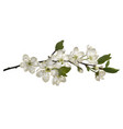 blossoming cherry branch with white flowers vector image vector image