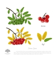 Branch of rowan on a white background vector image