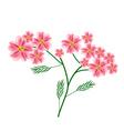 Old Rose Yarrow Flowers or Achillea Millefolium vector image vector image