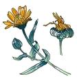 Primula primrose flowers buds leaves vector image vector image