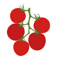 tomatoes on branch isolated on white vector image vector image