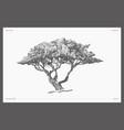 high detail safari tree acacia sketch