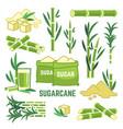 sugar plant agricultural crops cane leaf vector image